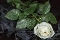 White rose on black velvet Royalty Free Stock Photo