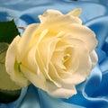 White rose on blue Royalty Free Stock Photo