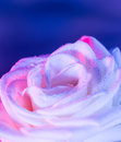 White Rose On Blue Background