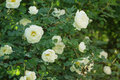White rose briar blooming outdoor close up photo Royalty Free Stock Images