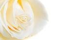 White Rose Bud Macro
