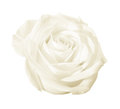 White rose flower isolated Royalty Free Stock Photo