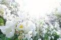 White rose flowers sun sunbeams Royalty Free Stock Photo