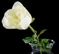 White rose in glass vase Royalty Free Stock Photo