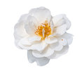 White rose isolated on background Royalty Free Stock Photography