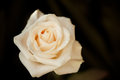 White rose macro Royalty Free Stock Photo