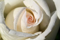 White rose macro image of with water droplets Royalty Free Stock Images