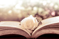 White rose on the open book on bokeh background Royalty Free Stock Photo