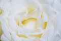 White rose petal Stock Photo