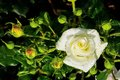 White rose on a rosebush Royalty Free Stock Photos