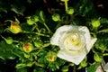 White rose on a rosebush Royalty Free Stock Photos