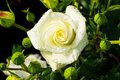 White rose on a rosebush blooming in the garden Stock Images