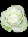 White rose towards black single isolated background Royalty Free Stock Image