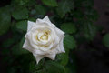 White rose with water drops Royalty Free Stock Photo