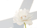 White rose on white background Stock Images