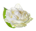 White rose on a white background Stock Photography
