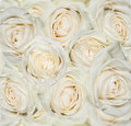 White roses background with water drops Stock Photography