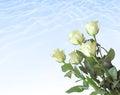 White roses. Royalty Free Stock Photo