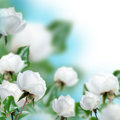 White roses with blue Royalty Free Stock Photography