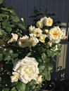 White Roses Royalty Free Stock Photo