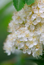 White rowan flowers close up a of beautiful with green leaves Stock Photos