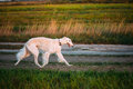 White Russian Borzoi Gazehound Fast Running In Summer Meadow. Th Royalty Free Stock Photo