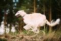 White Russian Borzoi sighthound, gazehound hunting running in au Royalty Free Stock Photo