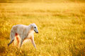 White Russian Dog, Borzoi Walking Running In Summer Sunset Sunrise Royalty Free Stock Photo
