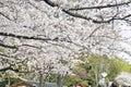 White Sakura In Japan