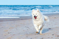 White Samoyed dog runs along the beach near the sea Royalty Free Stock Photo