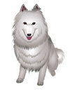 White Samoyed dog smiles. Stock Photo