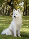 White samoyed sitting in park Royalty Free Stock Photography