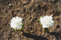 White Sanguinaria flower on the ground