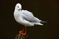White sea bird in the river habitat gull sitting on the branch black headed gull chroicocephalus ridibundus in dark water fra Stock Photos