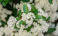 White Sea Buckthorn berry flowers, shrub with branches and green