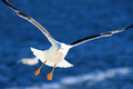 White Seagull in flight. Royalty Free Stock Photo