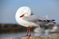 White Seagull Preening Feathers Stock Images