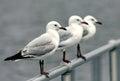 White Seagulls on Fence Royalty Free Stock Photo