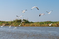 White seagulls fly above river and riverside Stock Photo