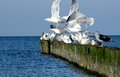 White seagulls starting. Old breakwater. Royalty Free Stock Photo