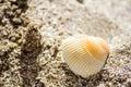 White seashell in the sand ikantalaka bulgaria Royalty Free Stock Image