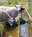 White sheep drinking from a trough in the field Stock Photo