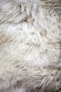 White sheep fur texture Royalty Free Stock Photography