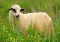 White sheep in grass on a farm Royalty Free Stock Photo