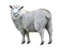 White sheep. Royalty Free Stock Photo
