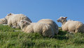 White sheep resting on the dike Royalty Free Stock Photo