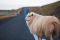 White sheep standing in the middle of a country road iceland Royalty Free Stock Image