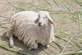 White sheep wool lying on farm field file of Royalty Free Stock Photo