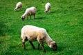 White sheeps sheep eating the grass Stock Photos