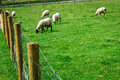 White sheeps sheep eating the grass behind wired fence Royalty Free Stock Photo